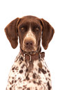Close up of german short hair pointer hunting dog Royalty Free Stock Photography