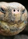 Close up Giant Galapagos Tortoise Stock Photo