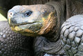 Close up Giant Galapagos Tortoise Royalty Free Stock Photos