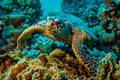 Close up of a giant turtle in the sea, red sea Royalty Free Stock Photo
