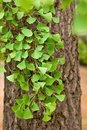 Close-up on Ginkgo Biloba tree Royalty Free Stock Photo