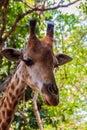 Close up Giraffe head Giraffa camelopardis rothschildi