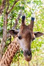 Giraffe head Giraffa camelopardis rothschildi at the forest