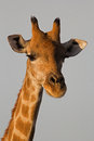 Close-up of Giraffe head and neck Royalty Free Stock Photo