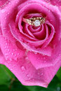 Close up of gold ring in pink rose Stock Images