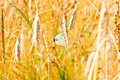Close up of gold ripe wheat or rye ears against blue sky. Two butterfly lovers. Summer sunday. Selective focus Royalty Free Stock Photo
