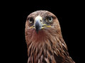 Close up golden eagle head over black Royalty Free Stock Photography