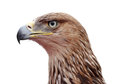 Close up golden eagle head over white Royalty Free Stock Photos