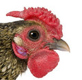 Close-up of Golden Sebright rooster, 1 year old Royalty Free Stock Photo