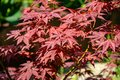 Close-up of graceful red leaves of Japanese Maple, Acer palmatum Atropurpureum tree in beautiful spring garden Royalty Free Stock Photo