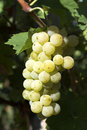 Close up of a grape cluster Royalty Free Stock Photos