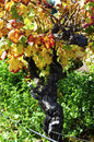 Close up of grape vine with autumn leaves in australian winery vineyard Stock Photo