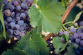 Close-up of grapes Royalty Free Stock Photo