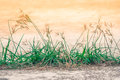 Close up grass flower growth in concrete floor win sunlight at outdoor. Royalty Free Stock Photo