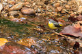 A close up of a Gray wagtail standing in the stream Royalty Free Stock Photo