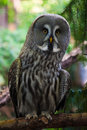 Close up of a Great Grey Owl Royalty Free Stock Photography