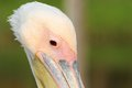 Close up on great pelican head over green out of focus background Stock Photos