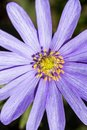 Close up of a grecian wildflower Royalty Free Stock Photo