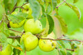 Close-up of green apple branch as eco farming Royalty Free Stock Photo