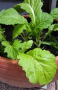 Close-up of green Brassica juncea/leaf mustard growing inside the vegetable pot Royalty Free Stock Photo