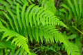 Close up of green fern Royalty Free Stock Photo