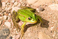Close-up of a green frog Stock Photography