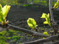 Close up of green grapevine sprig in backlit Royalty Free Stock Images