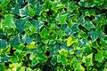 Close-up green ivy Hedera helix Goldchild carpet. Original texture of natural greenery. Background of elegant variegated leaves Royalty Free Stock Photo