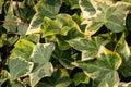 Close-up Green Ivy Hedera Heli...