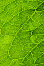 Close up of a green leaf. Royalty Free Stock Images