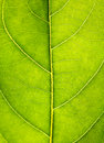 Close up on green leaf texture. Leaf veins macro view background Royalty Free Stock Photo
