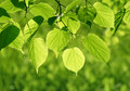 Close-up of green leaves glowing in sunlight Royalty Free Stock Photography