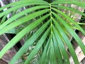 green long leaves branches palm tree texture Royalty Free Stock Photo