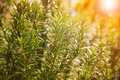 Close up of green rosemary leaves in agriculture plantation Royalty Free Stock Photo