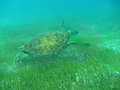 Close up of a green sea turtle chelonia mydas swimming over seagrass in sunlit shallow caribbean seas the tobago cays marine Stock Photos