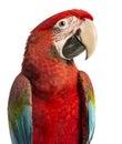 Close-up of a Green-winged Macaw, Ara chloropterus, 1 year old Royalty Free Stock Photo