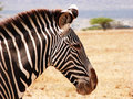 Close up of grevy zebra in buffalo springs game reserve Royalty Free Stock Image