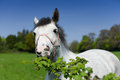 A close up of a grey horse funny eating green plants Royalty Free Stock Photo