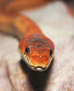 A close up of a ground snake look at sonora semiannulata Stock Images
