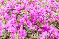 Closeup of group bright pink bougainvillea blossoms as a background Royalty Free Stock Photo