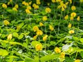 Close up of Group of Pinto Peanut or Arachis Pintoi on Nature Background Royalty Free Stock Photo