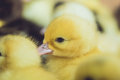 Close up group of small duckling Royalty Free Stock Photo