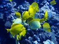 Close Up Group of Yellow Tropical Fish Butterfly and Tang on Reef Royalty Free Stock Photo