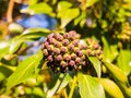 Close up of growing ivy evergreen tree buds winter closed Royalty Free Stock Photo