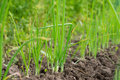 Close-up of the growing onion garden beds. Royalty Free Stock Photo