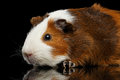 Close-up Guinea pig on isolated black background Royalty Free Stock Photo