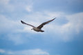 Close up of a gull in flight bevor blue sky Royalty Free Stock Photo