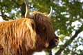 Close up of a hairy Highland cattle Royalty Free Stock Images