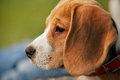 Close up half-face beagle portrait Royalty Free Stock Photo