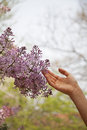 Close up of hand touching flower blossom outside in the park in springtime Royalty Free Stock Images
